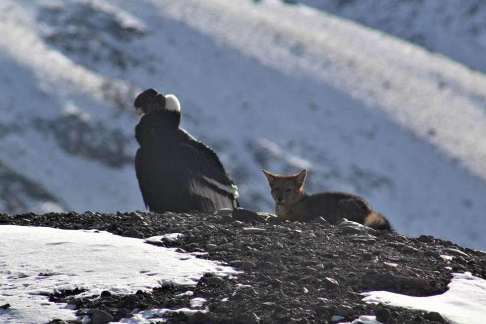 Para las humanidad, ha sido imposible registrar este momento pues se creía que las especies eran enemigas.  Foto: Parque Provincial Aconcagua