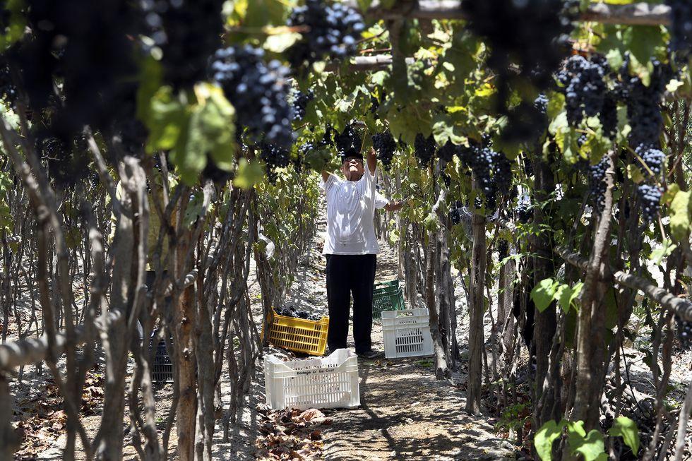 Victor De la Cruz, padre de Lalo, participa de la cosecha y corte de uvas en la viña familiar. (Rolly Reyna / El Comercio)