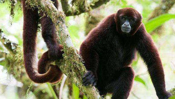 El mono choro de cola amarilla aparece en la lista actual de los 25 primates más amenazados en el ámbito mundial. Habita en los bosques nublados de los Andes tropicales. (Foto: Neotropical Primate Conservation)
