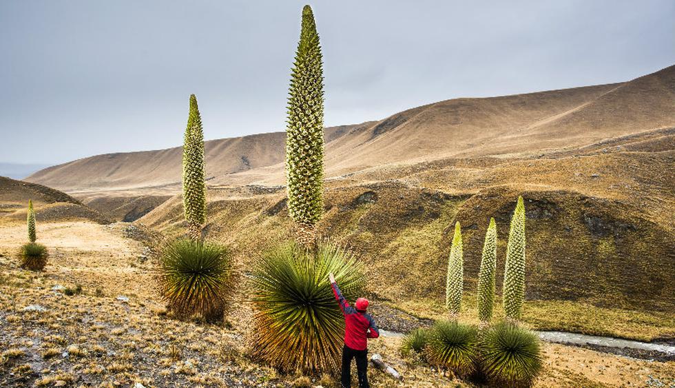 La puya Raimondi solo se ve a partir de los 4.000 m.s.n.m. (Foto: Shutterstock)