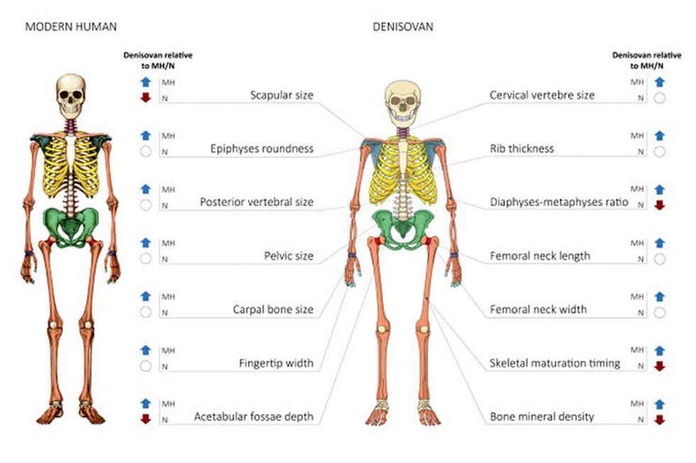 La comparación del esqueleto con el humano moderno (Imágen: Cell Magazine)