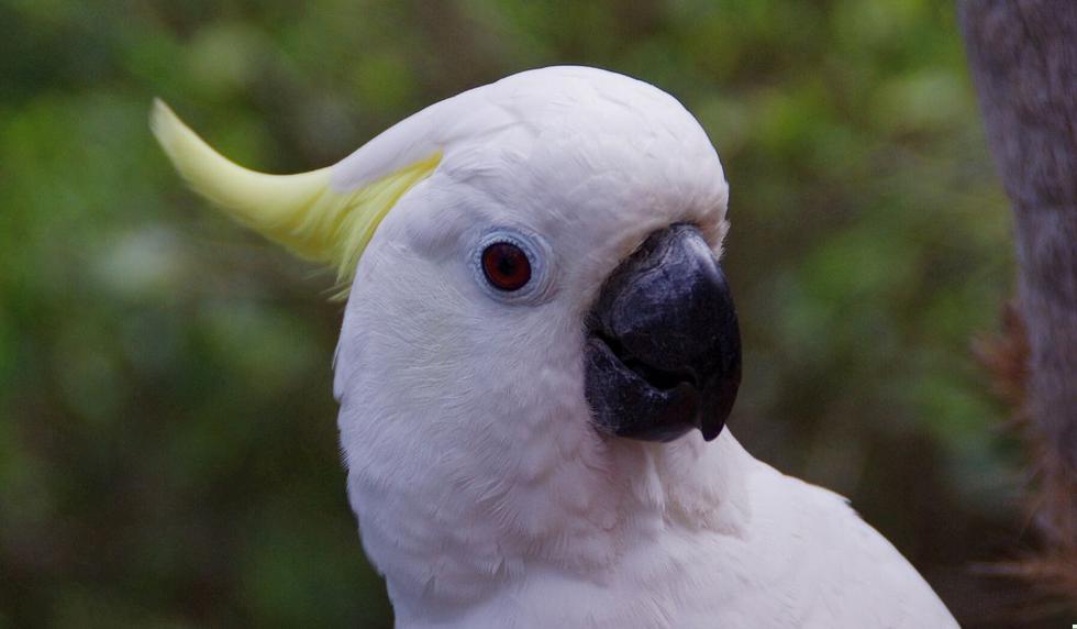 Las cacatúas son animales que suelen protagonizar jocosas situaciones. (Foto referencial: Pixabay)