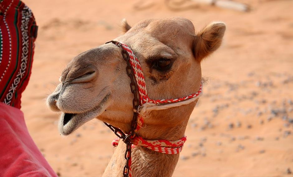 En busca del camello más bello en Catar en un certamen que escapa del bloqueo. (taniadimas / Pixabay)<br>