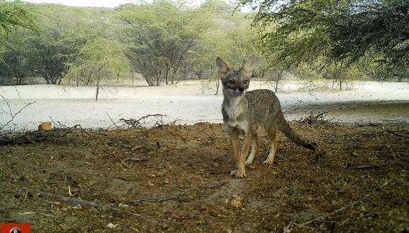 Imagen de cámara trampa del zorro de Sechura (Lycalopex sechurae). Foto: Centro de Investigación Biodiversidad Sostenible.