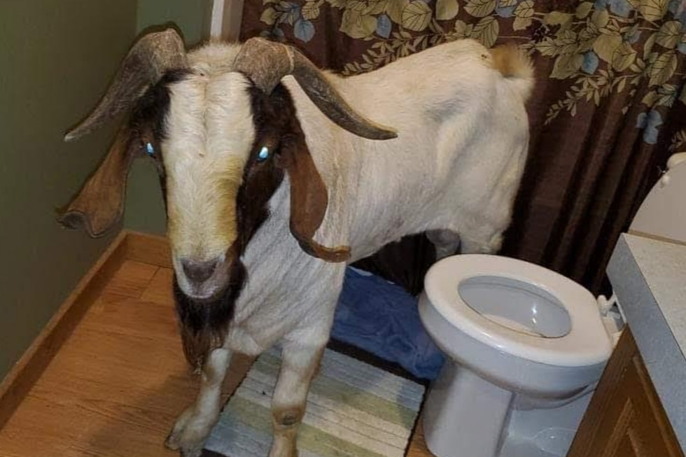 Una cabra forzó su entrada a una casa y fue encontrada durmiendo en el baño. (Fotos: Ashland County Pictures en Facebook)