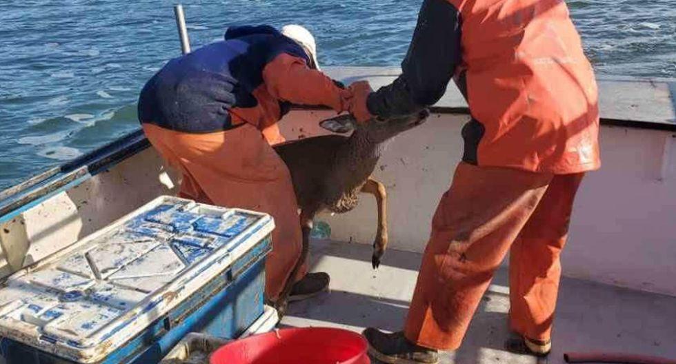 Finalmente, el venado fue rescatado y puesto a buen recaudo en la embarcación pesquera. Luego fue retornado a la orilla de la playa | Foto: Facebook / Ren Dorr