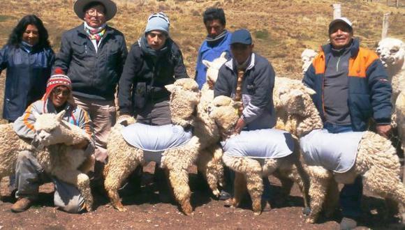 Previenen mortalidad de alpacas con chalecos impermeables