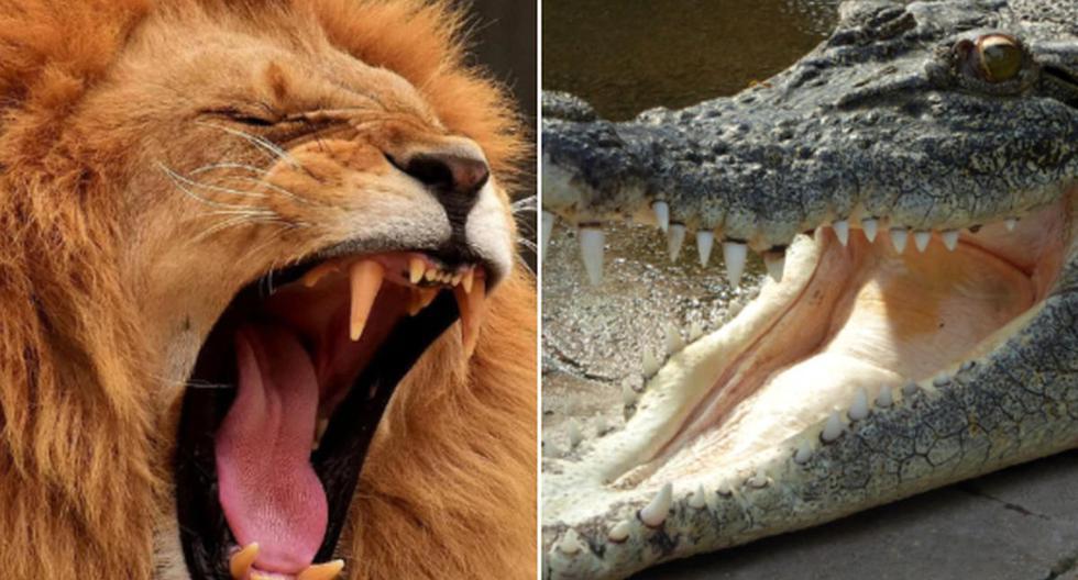 El león y el cocodrilo tuvieron un sorprendente enfrentamiento que se volvió viral en Facebook. (Pixabay)