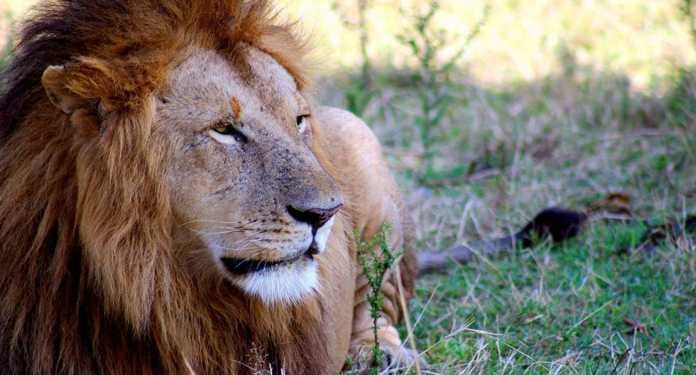 Los leones son animales carnívoros. (Foto referencial: Pixabay)