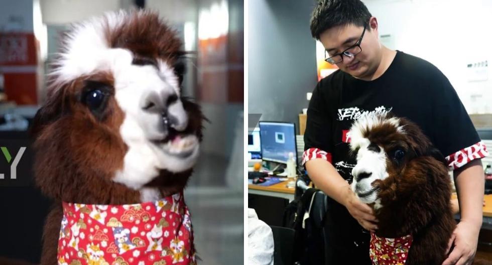 Tuo Baiwan es la mezcla entre una llama y una alpaca. (Foto: Ruptly TV | YouTube)