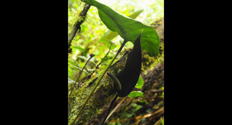 Conozca la historia del robo de una orquídea endémica peruana - 8