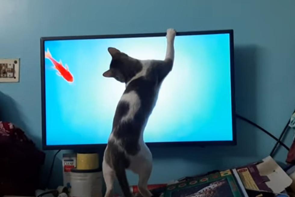 El gato agotó esfuerzos para atrapar al pez, pero nunca pudo lograr su objetivo, hecho que divirtió a los usuarios de la plataforma. (YouTube: ViralHog)