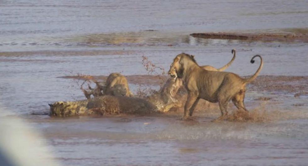Se viralizó en redes sociales el enfrentamiento entre un cocodrilo y un león; sin embargo, el desenlace tomó por sorpresa a los usuarios de Facebook. (Foto: Captura)