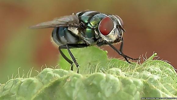 Los pelos en el cuerpo de las moscas atraen bacterias. (Foto: BBC / Ana Junqueira y Stephan Schuster)