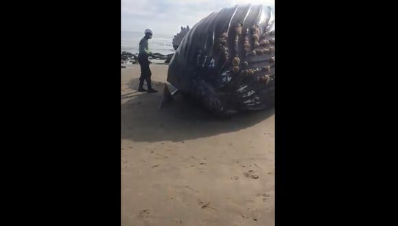 Tumbes: pobladores intentaron devolver al mar a ballena varada en Punta Sal. (Foto: Captura de pantalla)