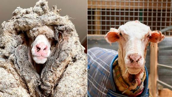 La oveja llamada 'Baarack' fue hallado en un bosque de Australia y trasquilada para salvar su vida. Esta es su increíble historia que dio la vuelta al mundo. (Foto: Facebook / Edgar's Mission)