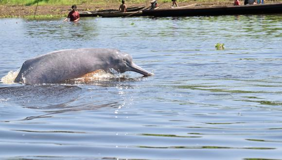 Los científicos compararán el comportamiento de los delfines rosados dentro de la Reserva Nacional Pacaya Samiria y en un espacio sin protección. Foto: © Jeffrey Dávila / WWF Perú.