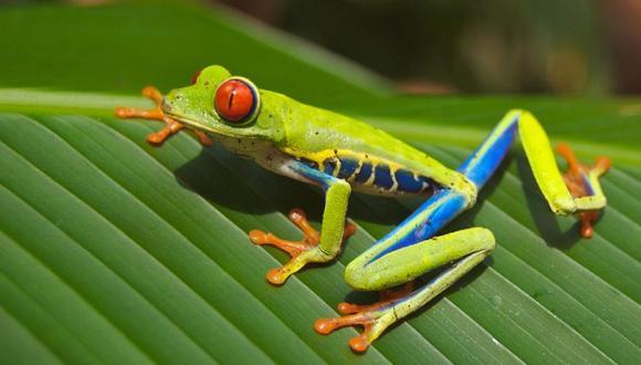 La información agrega el estudio se inició con la evaluación de 17 especies pero que a la fecha se trabaja con las familias Bufonidae (sapo común), Leptodactylidae (ranas silbadoras) y Phyllomedusidae (ranas mono). (Foto: Pixabay)