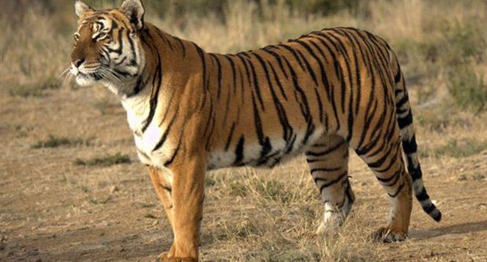 Científicos alertan de virtual extinción del tigre de Amoy