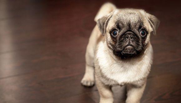 Estos pequeños canes se caracterizan por ser tranquilos y tener unos grandes ojos redondos que emanan ternura. (Foto:Facebook/referencial)