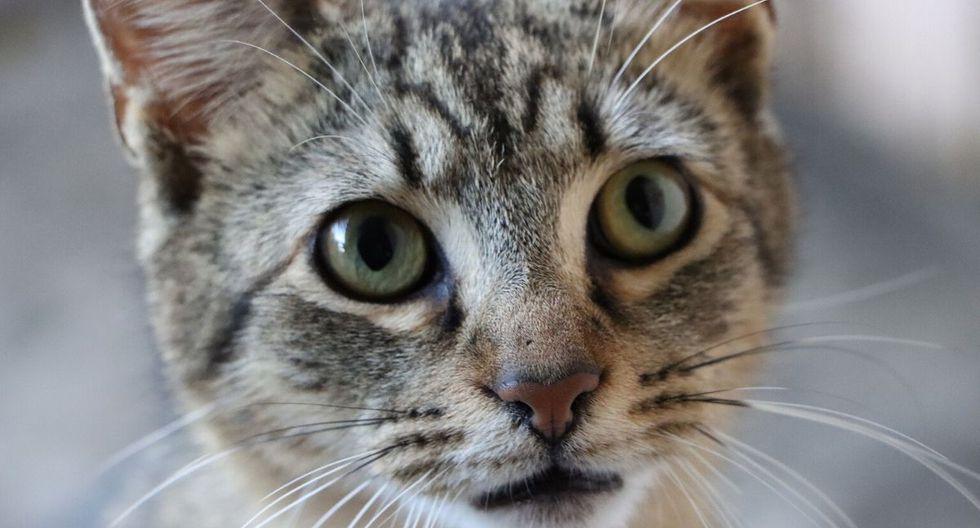 El felino causó asombro en las redes. (Foto: Referencial - Pixabay)