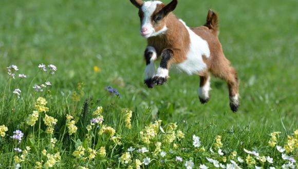 Con leche de una cabra clonada curarán una rara enfermedad