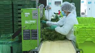 Colombia autoriza uso industrial del cannabis y su exportación con fines medicinales