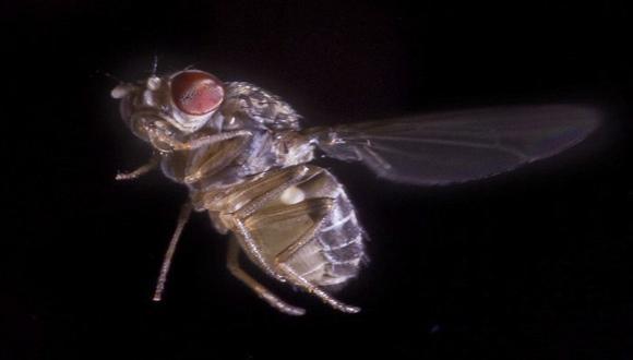 Un audífono hipersensible inspirado en una mosca