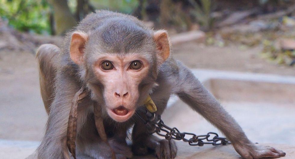 El mono no soportó la agresión del dueño de la moto. (Foto: Referencial - Pixabay)