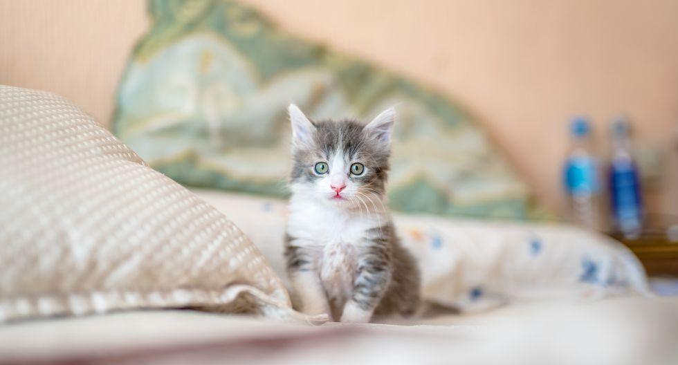 Los bigotes de los gatos se caen cada cierto tiempo, y otros vuelven a nacer: no hace falta cortarle los bigotes a tu gato.