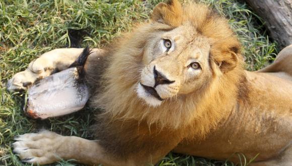 Cantidad de leones desciende drásticamente en África