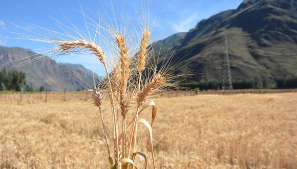 INIA 440 K'anchareq: presentan nuevo trigo con alta calidad genética en Cusco y Apurímac (Foto: INIA-Midagri)
