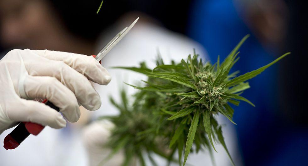 Chile realizó primera cosecha legal de marihuana de la región - 2