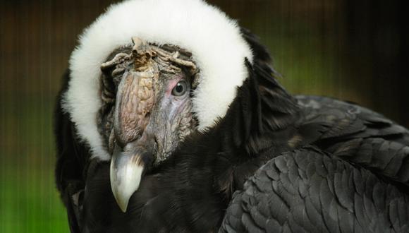 Día Mundial de las Aves: los peligros que enfrenta el cóndor andino en Sudamérica