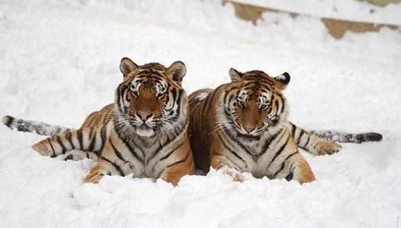 YouTube: reaparecen tigres siberianos en China luego de 60 años
