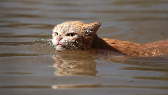 Un gato en medio de la inundación de 2017 en Texas.  (Foto: Getty Images)   Referencial