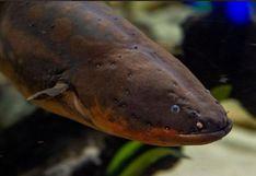 'Miguel Wattson', la anguila eléctrica que emplea su energía para encender las luces navideñas en un acuario | Video