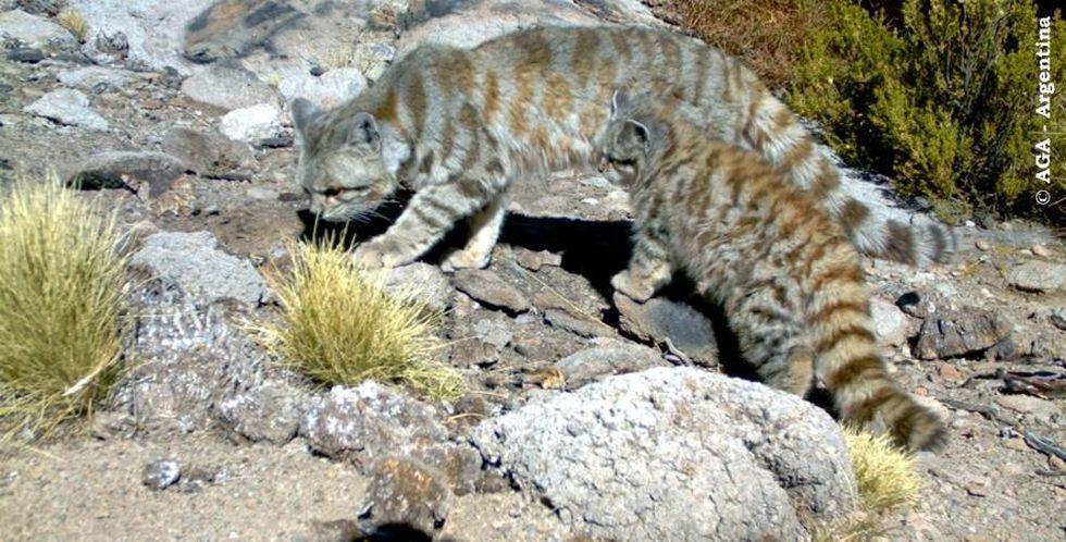 El Gato andino habita zonas altoandinas de Argentina, Bolivia, Chile y Perú. (Foto: Alianza Gato Andino - AGA)