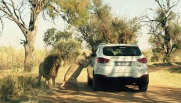 Sudáfrica: Foto muestra el momento en que león atacó a turista