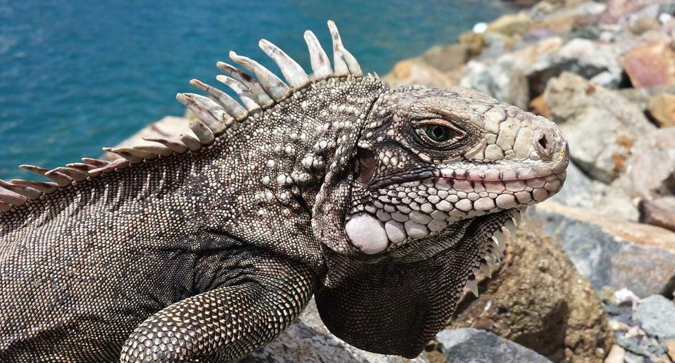Las iguanas que se encuentran congeladas no están muertas, mencionan las autoridades de Florida. (Foto: Referencial - Pixabay)