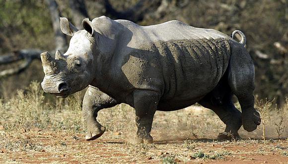 El rinoceronte negro más viejo del mundo falleció en Tanzania. (Foto referencial: AFP/Archivo)