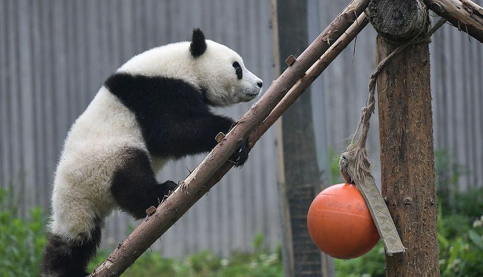 """Cachorro de panda gigante jugando en la """"Guardería de Panda Gigante"""" en la base Shenshuping. (Foto: Xinhua)"""