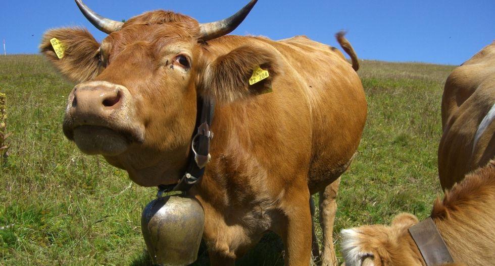 Las campanas que las vacas lucen en sus cuellos tienen un valor sentimental para los ganaderos. (Foto: Referencial - Pixabay)