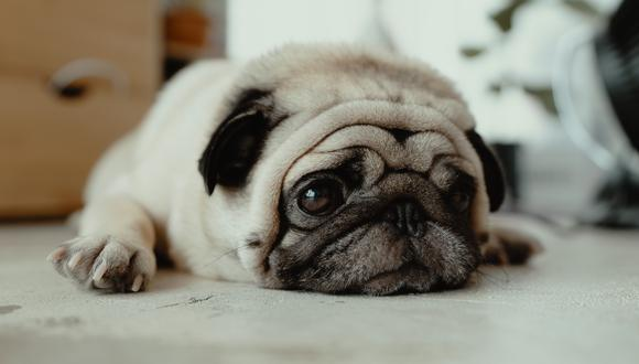 En razas como los pugs, las vías respiratorias están más expuestas a infecciones y a inhalar aire impuro en zonas polvorientas, mohosas o con contaminación.