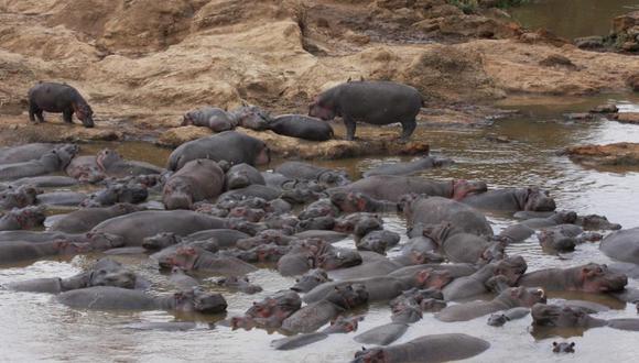 Las pozas de hipopótamos son potencialmente tóxicos para los peces, dicen los investigadores. Imagen de Christopher Dutton