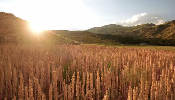 Para este año se prevé que la cosecha de quinua se reducirá alrededor del 35%, debido a las lluvias, granizadas y heladas que ha generado que los cultivos se quemen, informa GlobeNatural. (Foto: Difusión)
