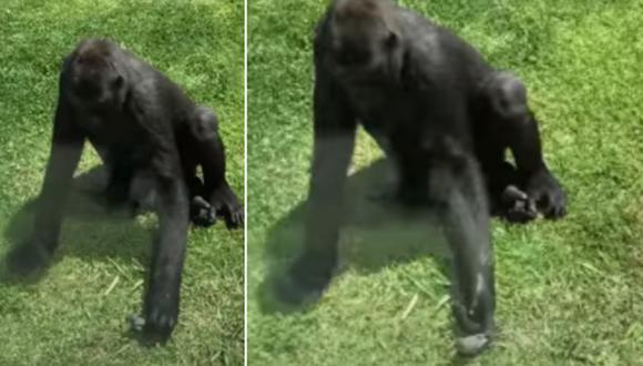 El gorila tuvo un comportamiento inesperado. Él intentó ayudar a un pájaro herido. (Foto: ViralHog / YouTube)