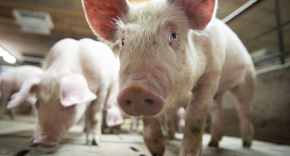 El Ministerio de Agricultura y Asuntos Rurales de China dijo este sábado que la llamada cepa G4 EA H1N1 de gripe porcina no es nueva y no infecta a otros animales o humanos fácilmente. (Sebastien St-Jean / AFP).