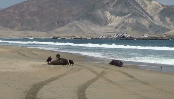 Chiclayo: pescadores hallan 4 lobos marinos muertos en playa