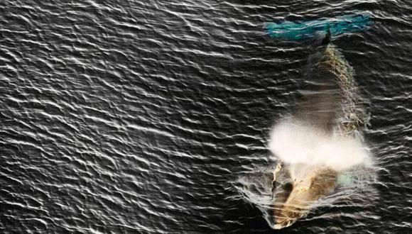 El gobierno japonés dijo que la caza comercial de ballenas se limitará a sus aguas territoriales y zona económica exclusiva. (AFP vía BBC)